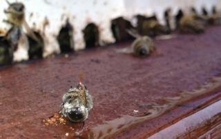 abelhas-mortas-utilizadas-em-estudo-inseticida-utilizado-na-agricultura-esta-ligado-a-redulao-das-populacoes-do-inseto-1507143915268_615x300