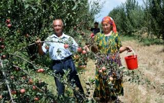 "10 August 2016 Yangikurgan, Uzbekistan - Farmer Okiljon Isakov, beneficiary of the FAO project ""Promotion of water saving technologies in the Uzbek water scarce area of the transboundary Podshaota river basin""."